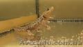 Аквариумные испанские тритоны с доставкой!  - Изображение #3, Объявление #1227555