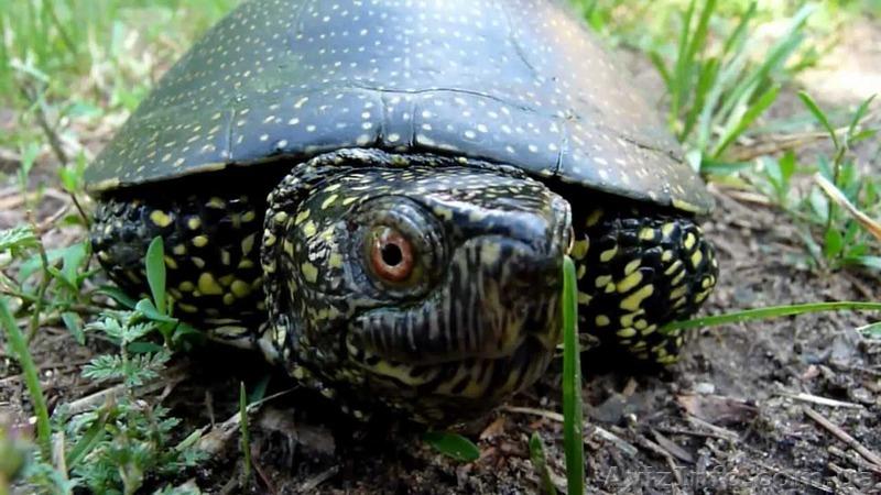 Європейська болотяна черепаха , Объявление #1273358
