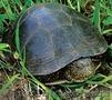 Черепаха водяная,  черепашка водная