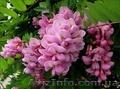 Саженцы розовой акации , Объявление #1427499