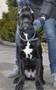 Породный щенок кане корсо от пары чемпионов , кобель. КСУ.