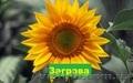 Гібрид соняшнику  «Заграва» 100-108дн., Объявление #1520677