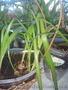 Продаю лечебное растение-индийский лук