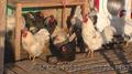 Инкубационные яйца домашних кур. с.Демидов
