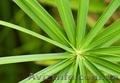 Циперус очереднолистный (Cyperus alternifolius) , Объявление #1579457