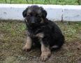 Продам породистых длинношерстных щенков немецкой овчарки,