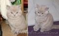 Лиловые шотландские котята, Объявление #1596790