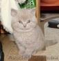 Лиловый шотландский котенок (девочка), Объявление #1598285