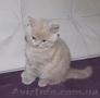 Шотландский лиловый котенок (девчока) скоттиш страйт scottish straight, Объявление #1598283