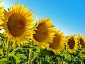 Насіннєва Компанія Гран пропонує насіння соняшнику , Объявление #1604143
