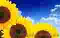 Насіння соняшнику Рембо, Бонд,  Ауріс, Дракон,  Матадор,  Армагедон