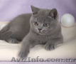Котенок британской короткошерстной породы,  мальчик,  окрас голубой