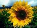 Пропонуємо насіння соняшнику Аркансель, Объявление #1605067