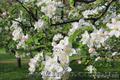 Обработка сада. Химическое опрыскивание деревьев Киев и область - Изображение #3, Объявление #855791