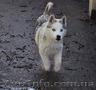 Сибирский хаски, щенки КСУ. - Изображение #7, Объявление #1598425
