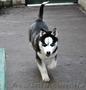 Сибирский хаски, щенки КСУ. - Изображение #5, Объявление #1598425