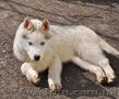 Сибирский хаски, щенки КСУ. - Изображение #2, Объявление #1598425