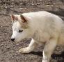 Сибирский хаски, щенки КСУ. - Изображение #3, Объявление #1598425