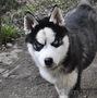 Сибирский хаски, щенки КСУ. - Изображение #4, Объявление #1598425