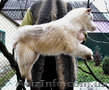 Сибирский хаски, щенки КСУ. - Изображение #9, Объявление #1598425