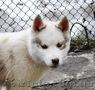 Сибирский хаски, щенки КСУ. - Изображение #8, Объявление #1598425