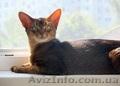 Взрослые роскошные абиссинские кот и кошка