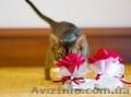 Абиссинский котенок - роскошный подарок для ваших близких  - Изображение #3, Объявление #1493089