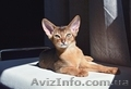 Абиссинский котенок - роскошный подарок для ваших близких