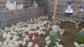 Супер Цыплята бройлер КОББ-500. Венгрия - Изображение #3, Объявление #1572411