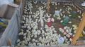Супер Цыплята бройлер КОББ-500. Венгрия - Изображение #4, Объявление #1572411