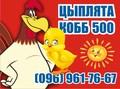 Супер Цыплята бройлер КОББ-500. Венгрия - Изображение #5, Объявление #1572411